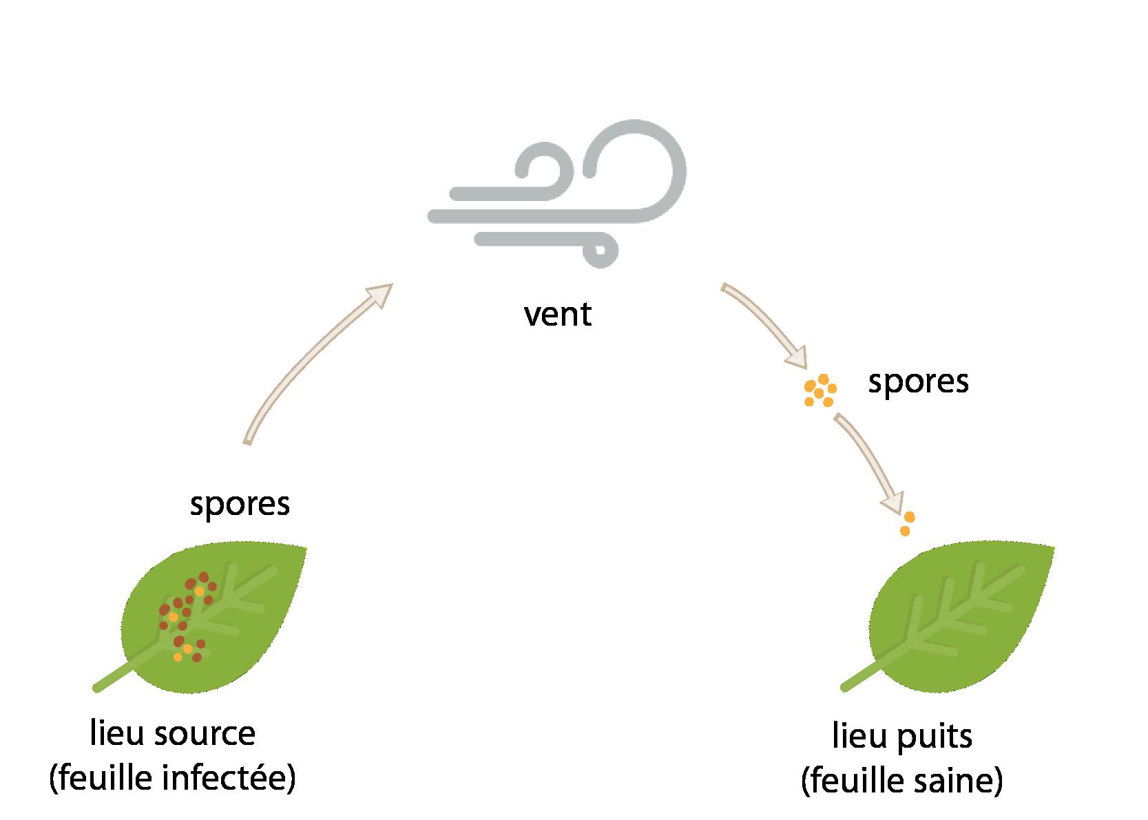 Dispersion de spores